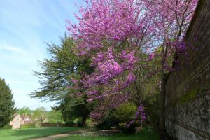 cercis or Judus tree