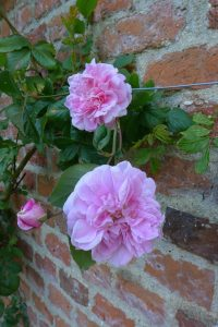 Rosa 'Mistress Quickly'
