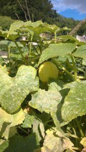 Crystal Lemon cucumbers 2.jpg